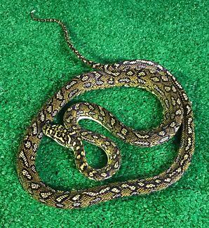Diamond Pythons SPECIAL