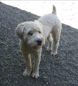 """Young Male Dog - Wheaten Terrier: """"Archie"""""""