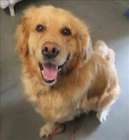 "Adult Male Dog - Golden Retriever: ""Buddy"""