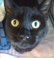 "Adult Female Cat - Domestic Short Hair: ""Nyla"""