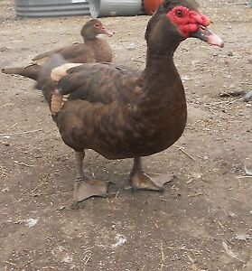 Chocolate Muscovy Female DUCK - 1 yr old LAYING
