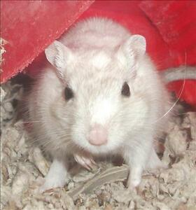 """Young Female Small & Furry - Gerbil: """"Lola"""""""