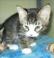 "Baby Male Cat - Domestic Short Hair: ""Tommy"""