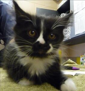 "Baby Female Cat - Domestic Long Hair: ""Cordeila"""