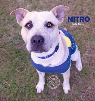 Nitro - Male Staffy cross