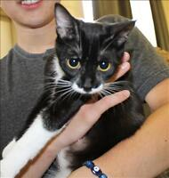 """Young Female Cat - Domestic Short Hair: """"Izzy Bizzy"""""""