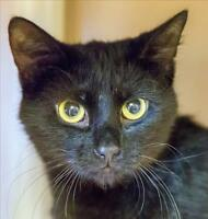 """Young Male Cat - Domestic Short Hair: """"Mulligan"""""""