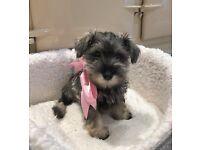 Schnauzer puppy - Name: Von Stroganoff