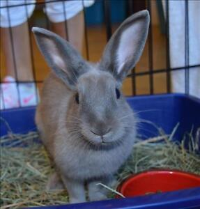 """Young Male Rabbit - American: """"Thumper *bonded With Snowball"""""""