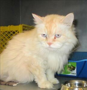 "Adult Male Cat - Domestic Long Hair-Himalayan: ""Frankie"""