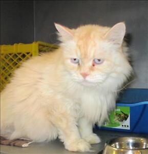 """Adult Male Cat - Domestic Long Hair-Himalayan: """"Frankie"""""""