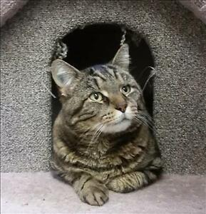 "Adult Male Cat - Domestic Short Hair: ""Tank"""