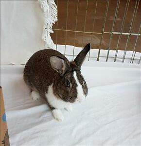 "Young Male Rabbit - Dutch: ""Robert"""
