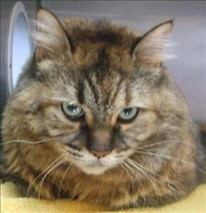 """Adult Female Cat - Domestic Long Hair: """"Frenchy"""""""