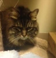 "Senior Male Cat - Domestic Long Hair: ""Diego"""