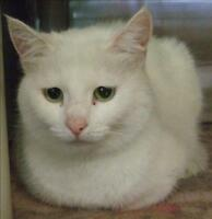 """Adult Female Cat - Domestic Short Hair: """"Lily"""""""