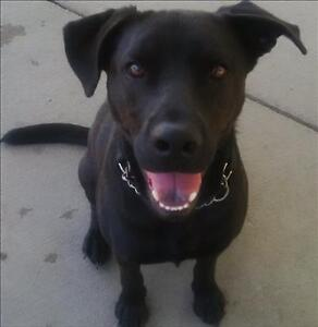 "Adult Male Dog - Labrador Retriever-Pit Bull Terrier: ""Jordy"""