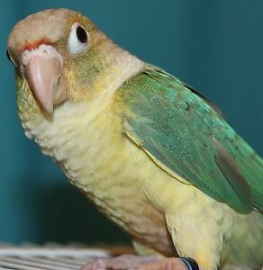 Baby Female Pineapple Conure