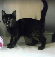 "Baby Female Cat - Domestic Short Hair: ""Tiana"""