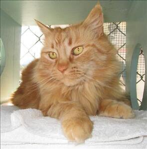 """Adult Female Cat - Domestic Medium Hair: """"Tang"""""""