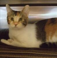 "Young Female Cat - Domestic Short Hair: ""Misty"""