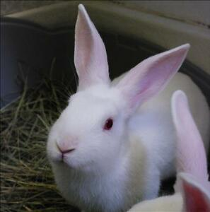 "Baby Female Rabbit - New Zealand: ""Mallow"""
