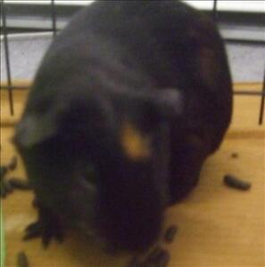 """Young Male Small & Furry - Guinea Pig: """"George"""""""