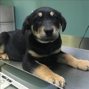 Baby Female  - German Shepherd Dog-Rottweiler
