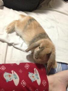 5 month holland lop bunny and accessories !