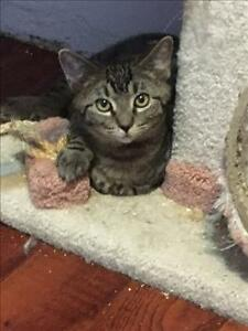 """Young Male Cat - Domestic Short Hair: """"Jed"""""""