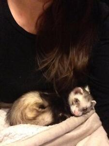 Looking for person who purchased two ferrets from me last year