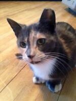 "Adult Female Cat - Domestic Short Hair: ""Carmel and Buddy"""