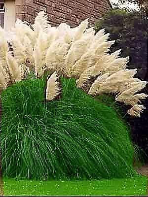 Pampas Grass Ebay