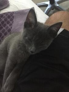 Russian Blue kitten looking for a new home