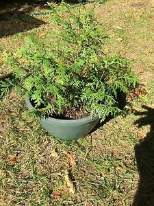 Cèdres à vendre. Thuja for sale.