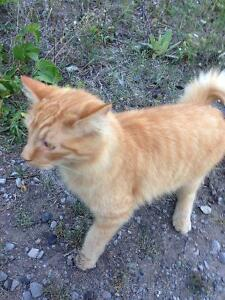 Spotted but not caught orange long haired cat behind Costco!!! Peterborough Peterborough Area image 3