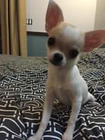 CKC Registered Chihuahua (short coat )