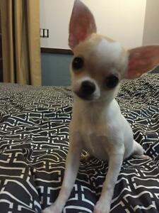 CKC Registered Chihuahua (short coat )