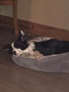 Loveable smart Border Collie needs new home