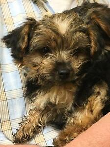 YORKSHIRE TERRIER PUPPIES-PUREBRED