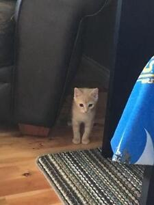 """Young Male Cat - Domestic Short Hair - buff: """"Bubbles"""""""