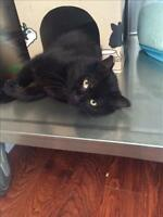 "Adult Male Cat - Domestic Short Hair: ""Harley"""