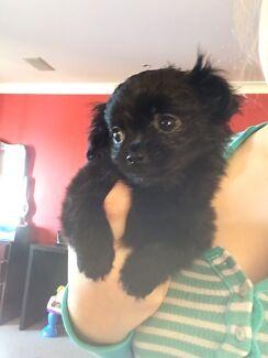 Chiahuahua x Mini Poodle Black Male 9wks