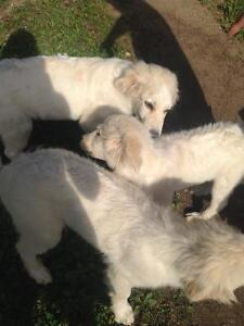 Great Pyrenees female puppy
