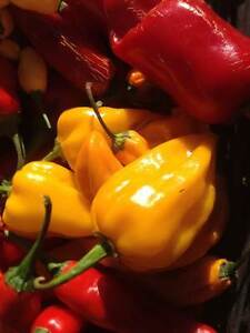 Carolina Reaper/ Ghost Pepper/ Chili Pepper seeds and Hot Sauce Stratford Kitchener Area image 4
