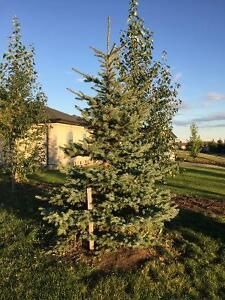 Colorado blue spruces for sale