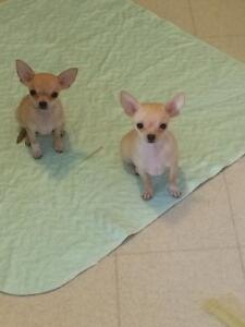 2 Female Chihuahua Puppies for Sale