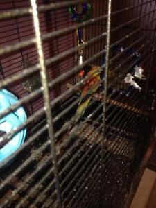 Red rumped male bird for sale