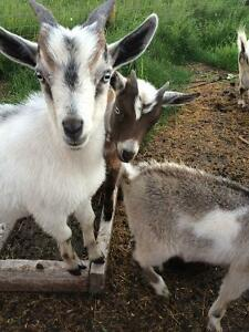 One neutered baby Pygmy goat left to go to new home.