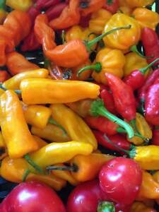 Organically Grown hot chili pepper seeds and live plants. Seed p